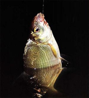 По ночам попадается более крупная рыба.