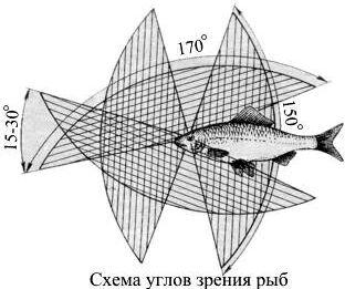 схема углов зрения рыб