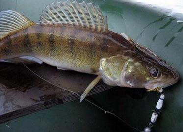 Судак – неординарная рыба.