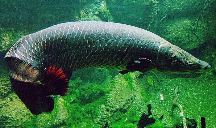 Рыба арапайма