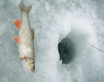 Зимняя ловля голавля.
