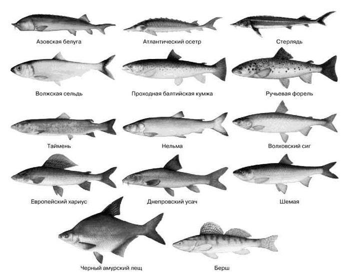 исчезающие рыбы