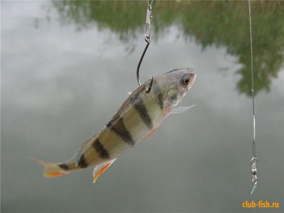 ловить рыбу на живую приманку
