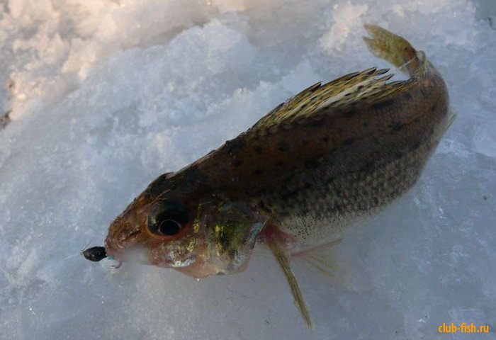 Поиск активной рыбы безмотыльной приманкой