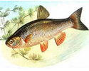 Лучшая рыбка для живца