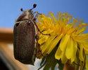 На жереха с майским жуком
