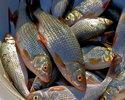 Красивая рыбка плотвичка.