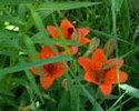 Саранки-северные лилии
