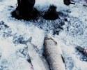 Сиг (whitefish). Лимит выбран. Озеро Симко