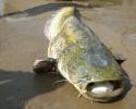 ...рыбу, которой можно похвастаться окружающим.  Сом