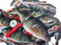 Моя рыбалка – Ловля окуня в мороз - видео.