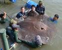 В Таиланде на удочку поймали крупнейшую пресноводную рыбу в мире.