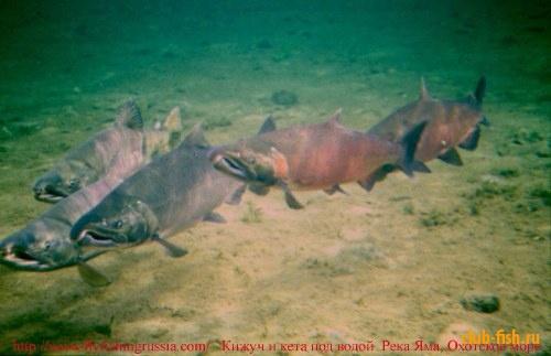Лососи под водой