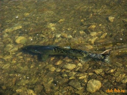 Тихоокеанский лосось(чинук). Нерест. Речка Ганараска
