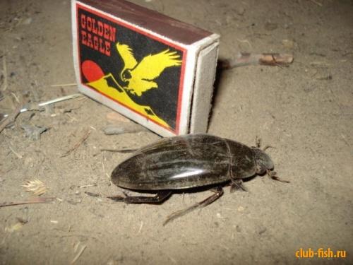 Вот такие там жуки