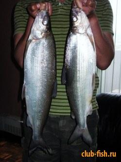 сиг ( whitefish)