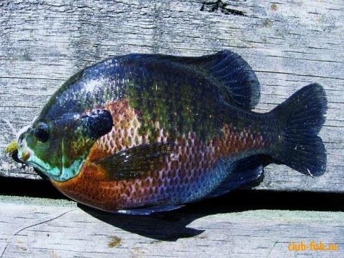 sunfish ( 500g)